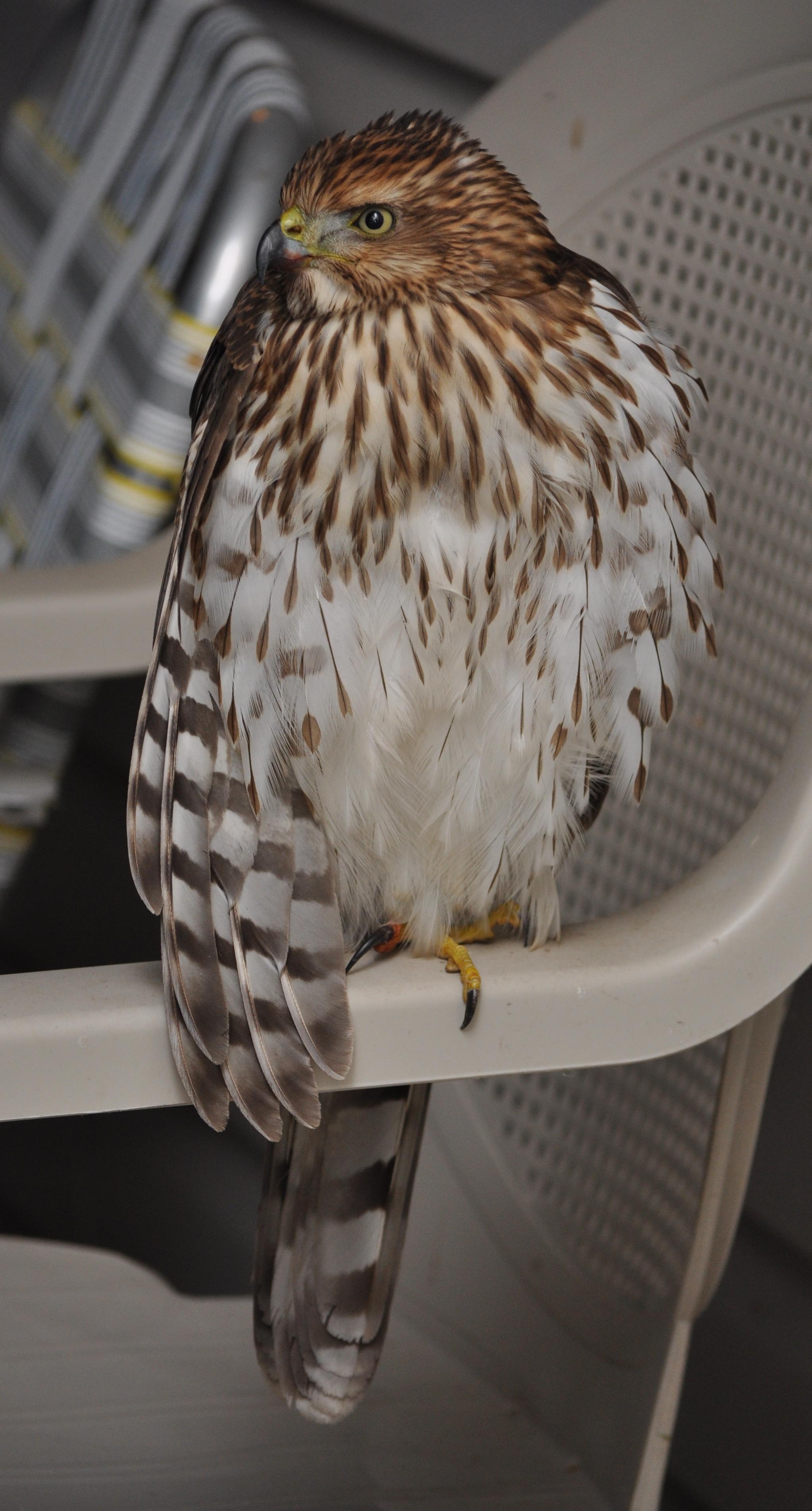 Hawk sitting on chair
